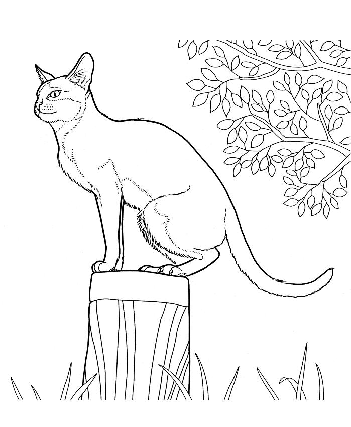 Раскраска Сингапурская Кошка