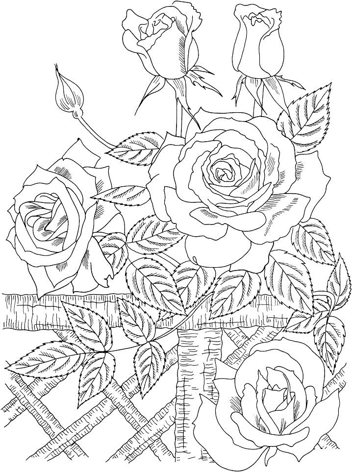 """Раскраска Плетистая роза """"Америка"""""""