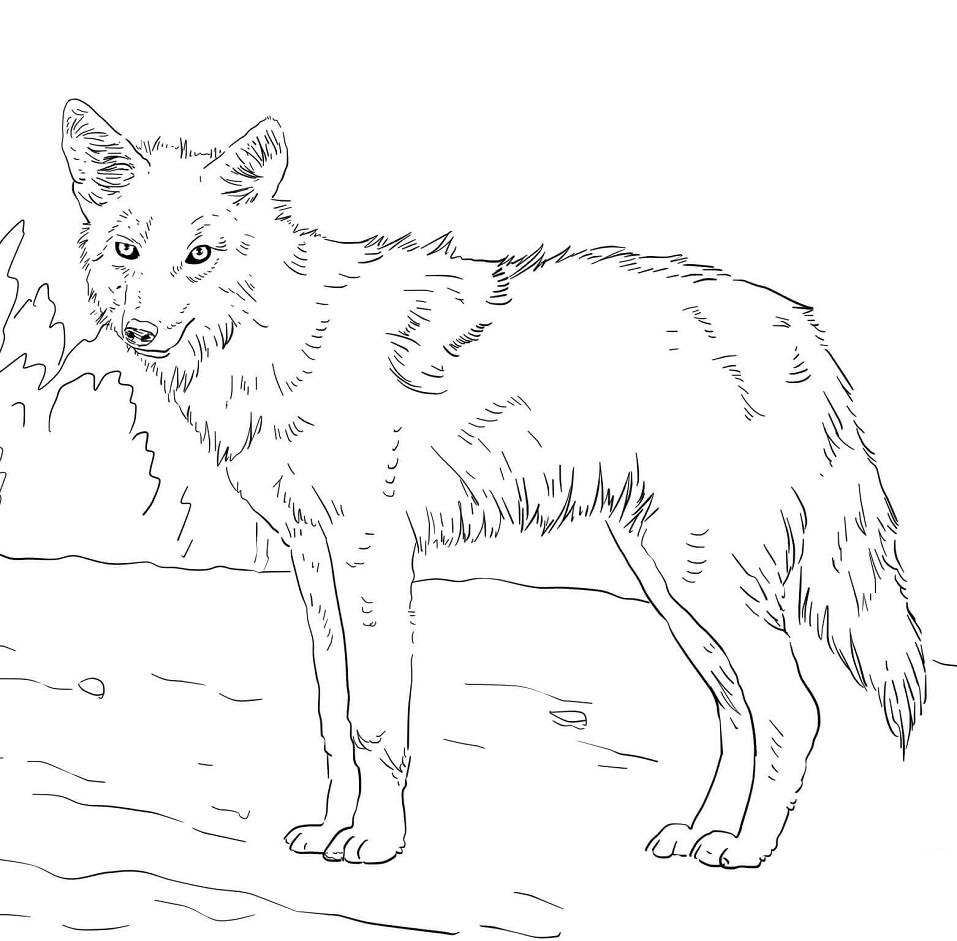 Американский койот