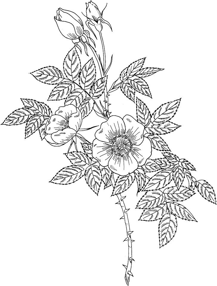Раскраска Раскраски Роза