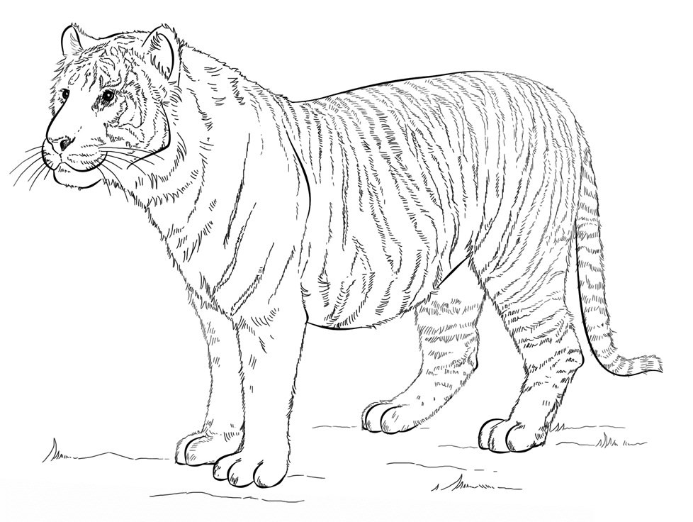 Раскраска Суматранский тигр 2