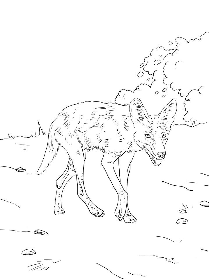 Луговой волк или койот