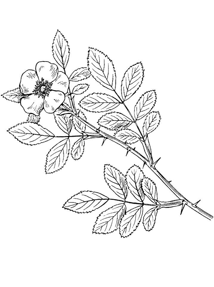 Раскраска Шиповник каролинский