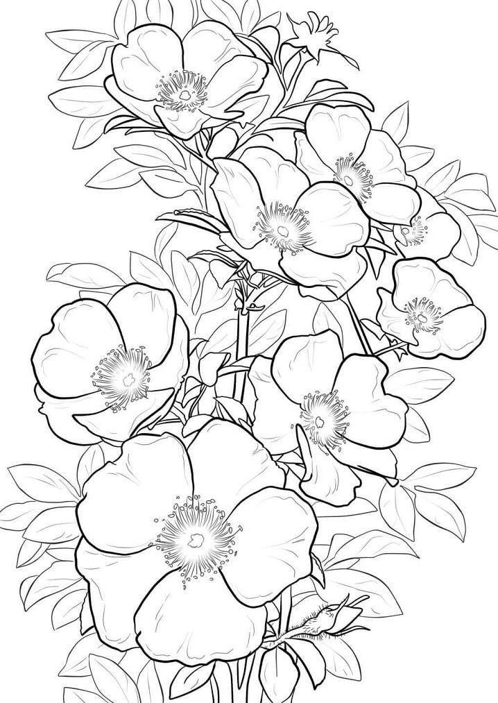 Раскраска Роза гладкая