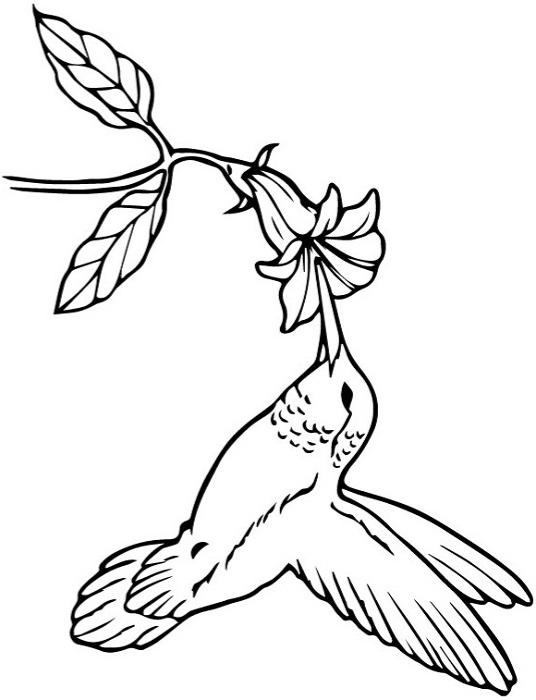 Раскраска колибри потягивая нектар