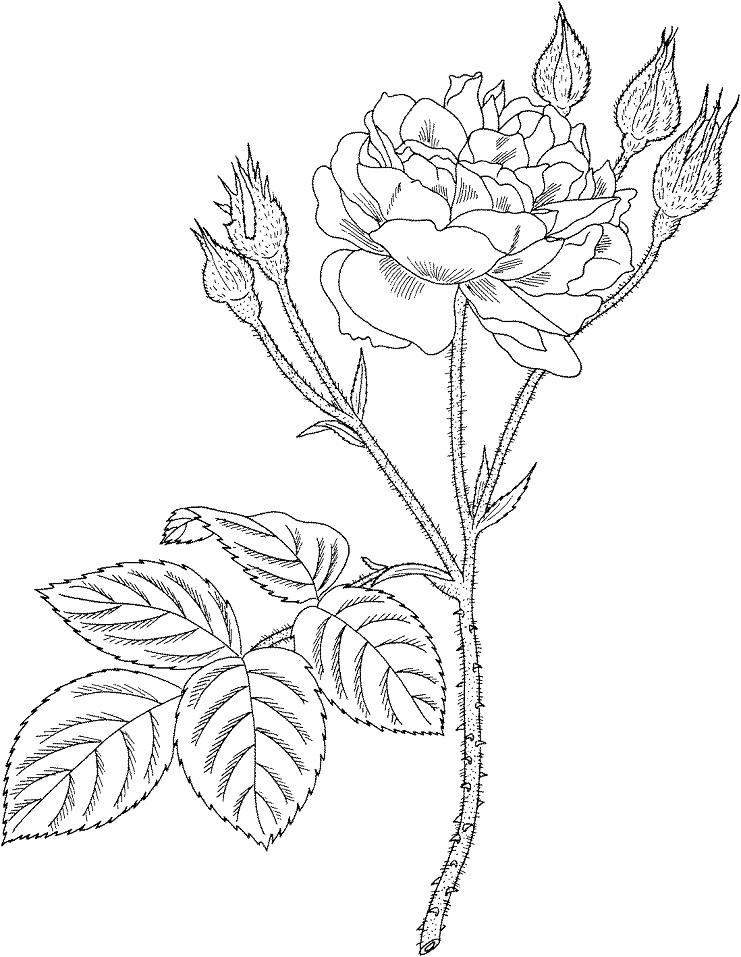 Раскраска Садовая моховая роза