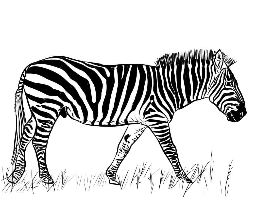 Раскраска дикая зебра 12
