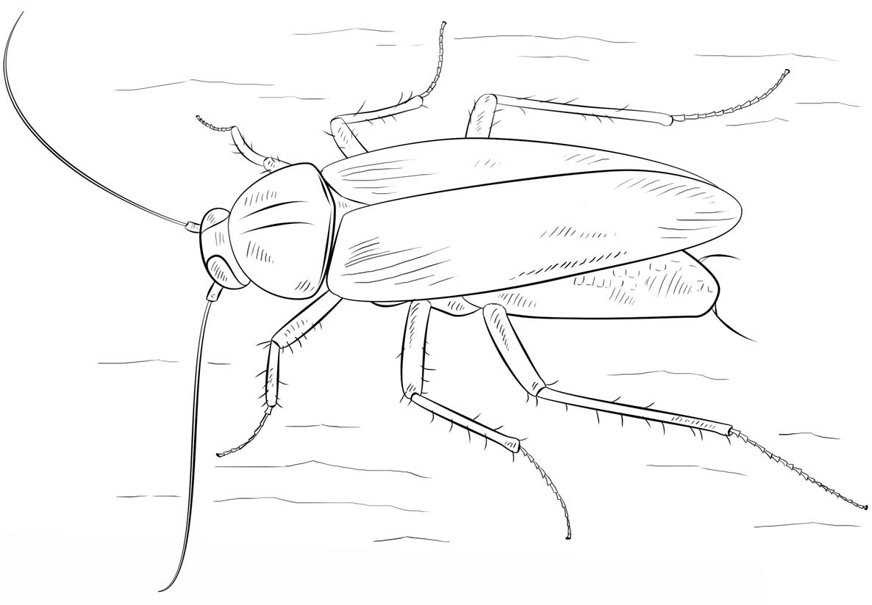 Раскраска Рыжий таракан