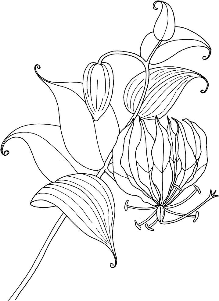 Раскраска Раскраски Лилии