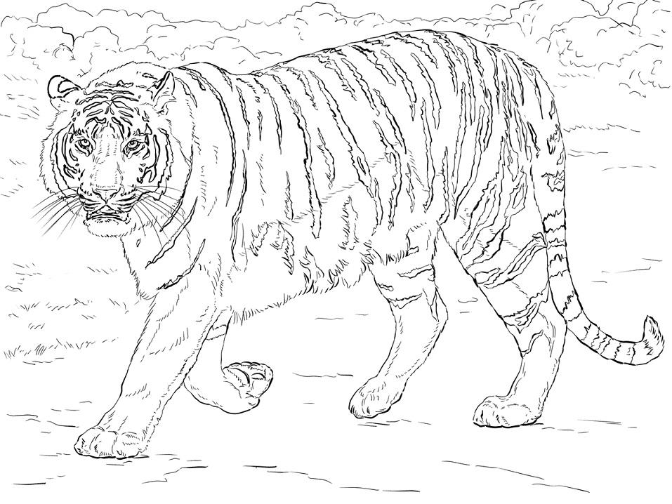 Раскраска Бенгальский тигр 2