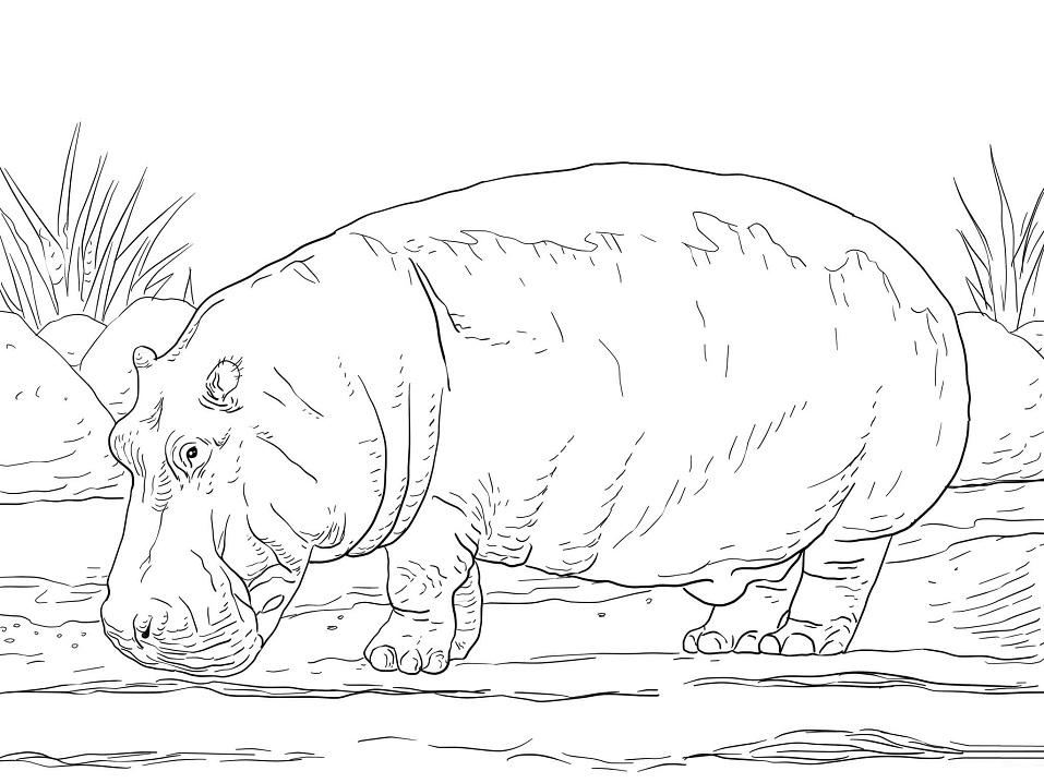 Раскраска Обыкновенный бегемот