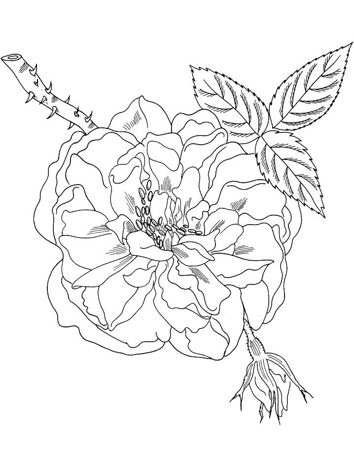 Раскраска Цветок розы