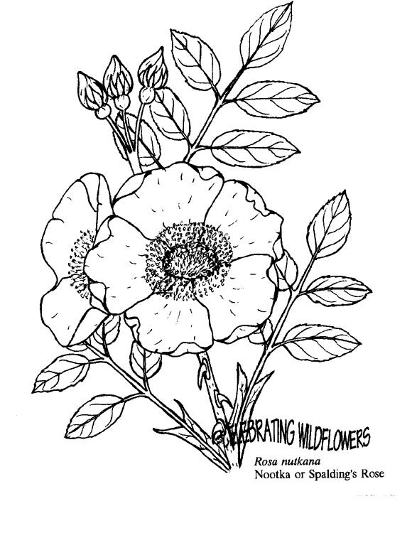 Раскраска Роза нутканская