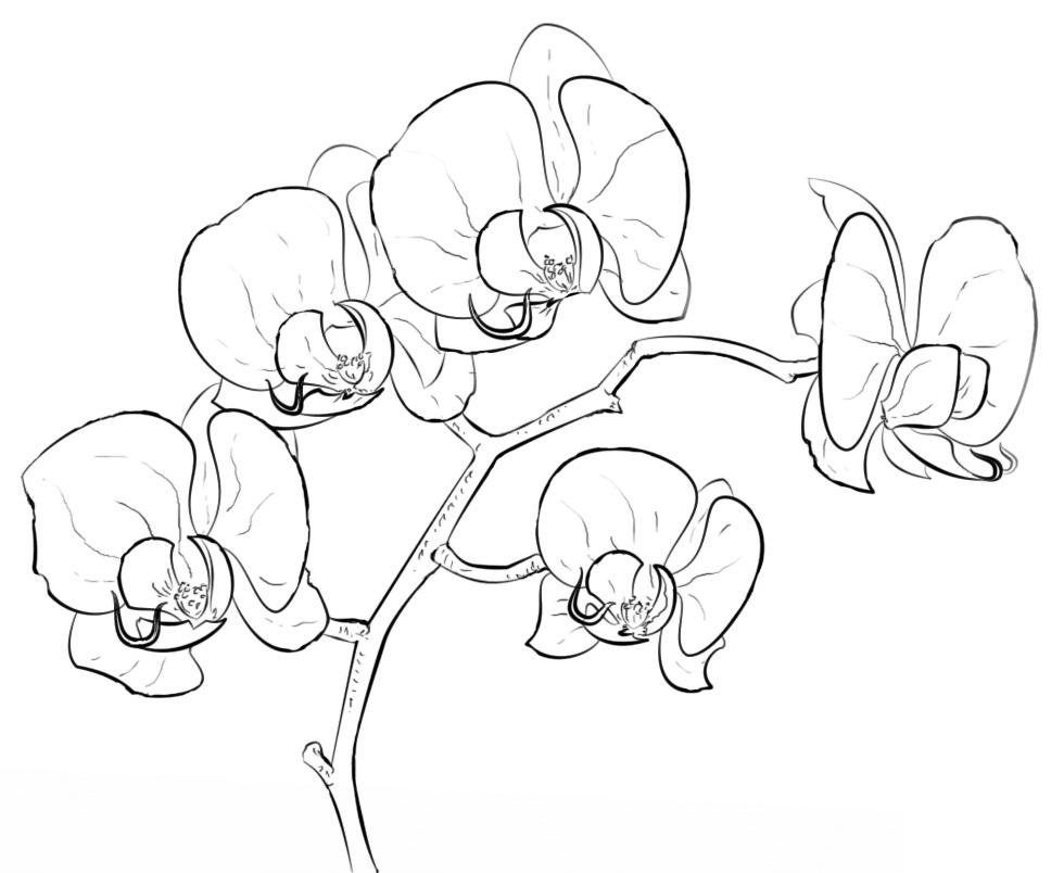Раскраска Орхидея фаленопсис