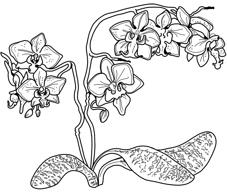 Раскраска Орхидея