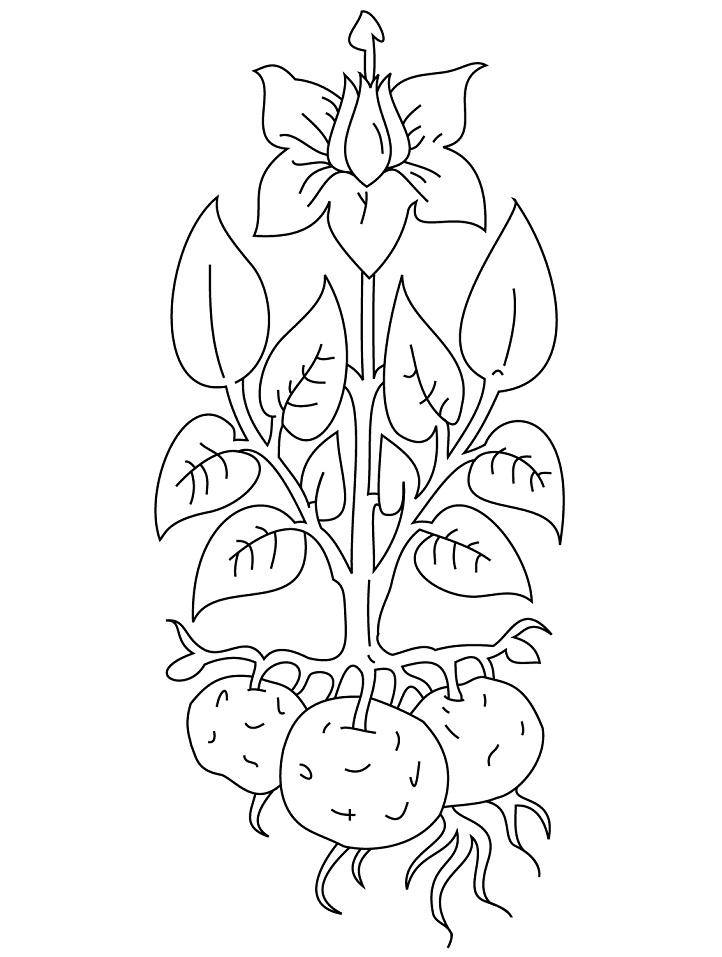 Раскраска Картофель 2