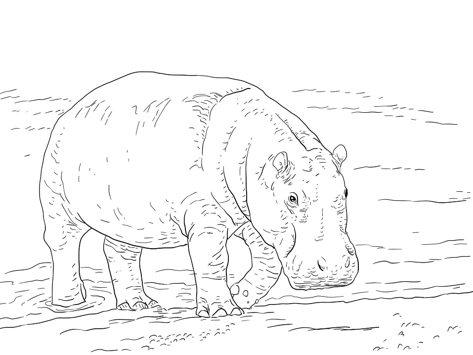 Раскраска Карликовый бегемот