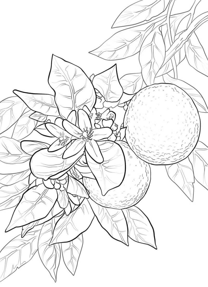 Раскраска Апельсины фрукты 3