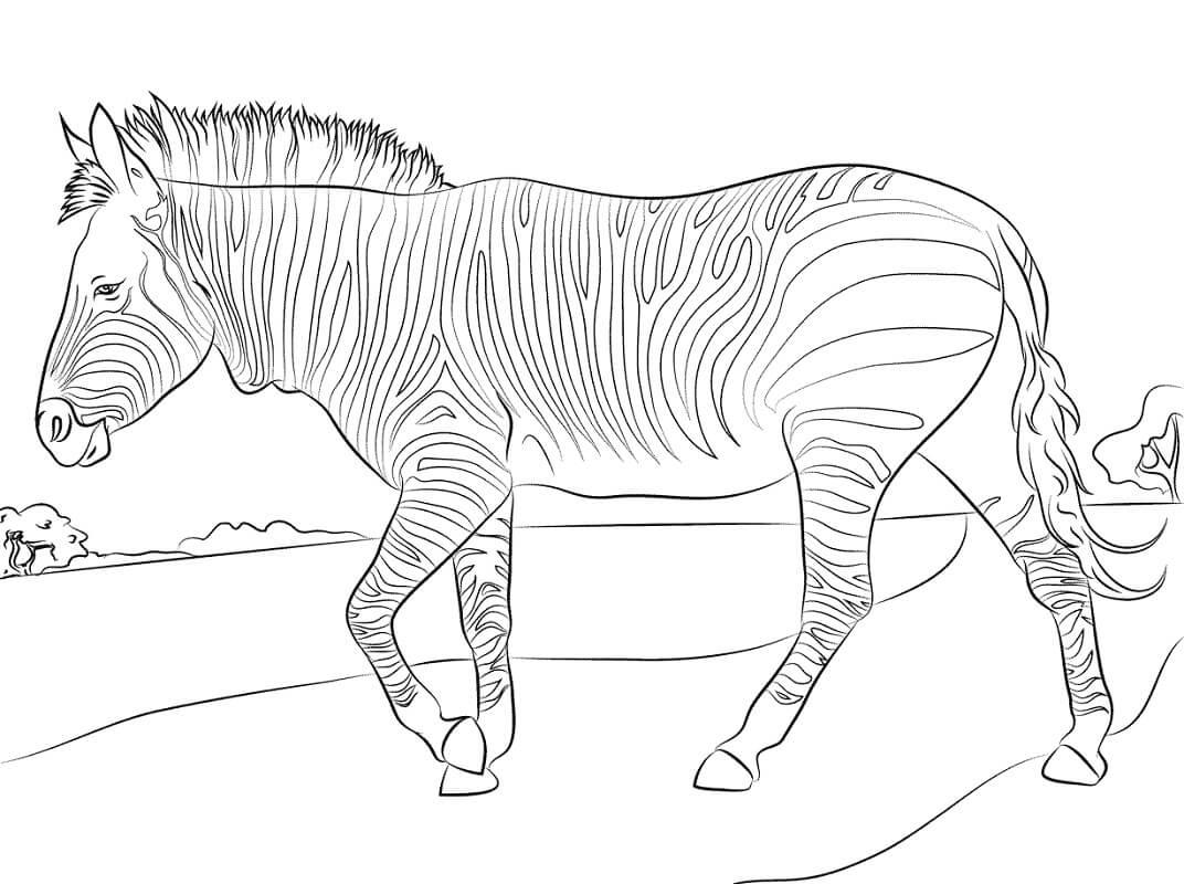 Раскраска дикая зебра 1