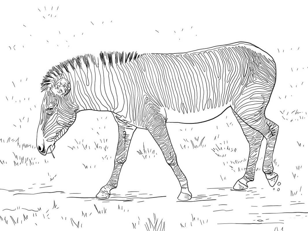 Раскраска дикая зебра 2