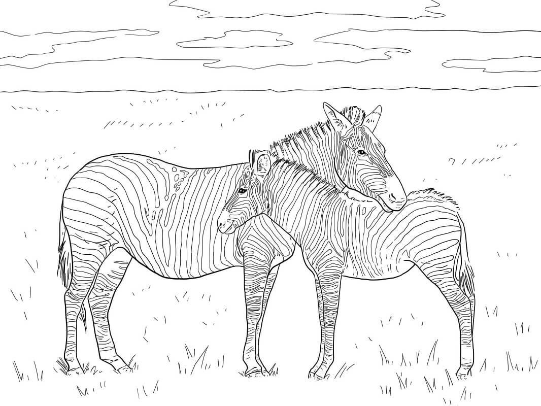 Раскраска дикая зебра 3
