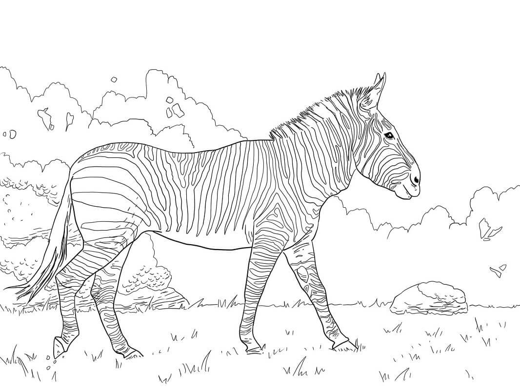 Раскраска дикая зебра 5