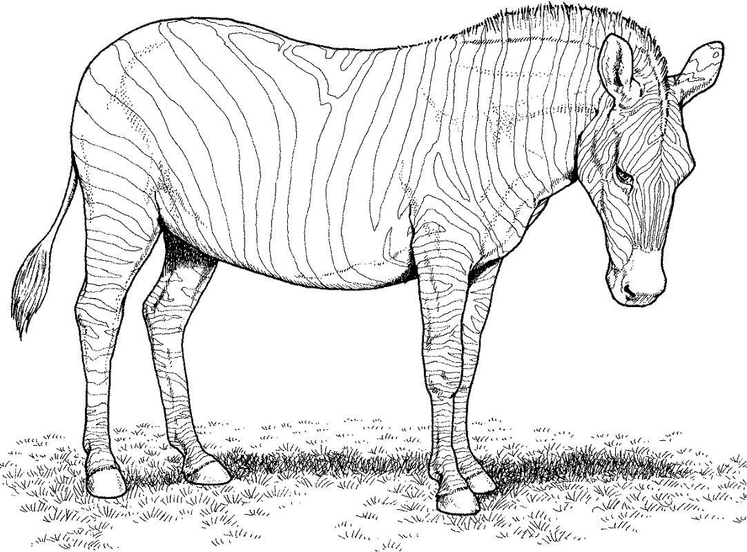 Раскраска дикая зебра 8