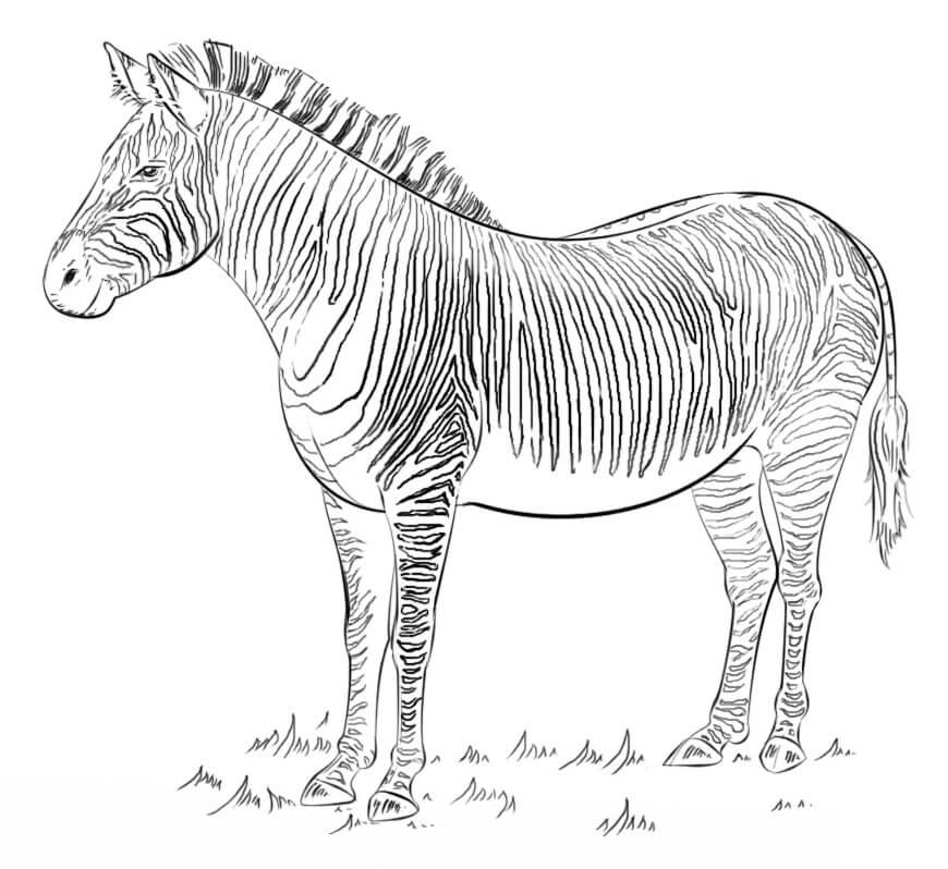 Раскраска Раскраски зебра