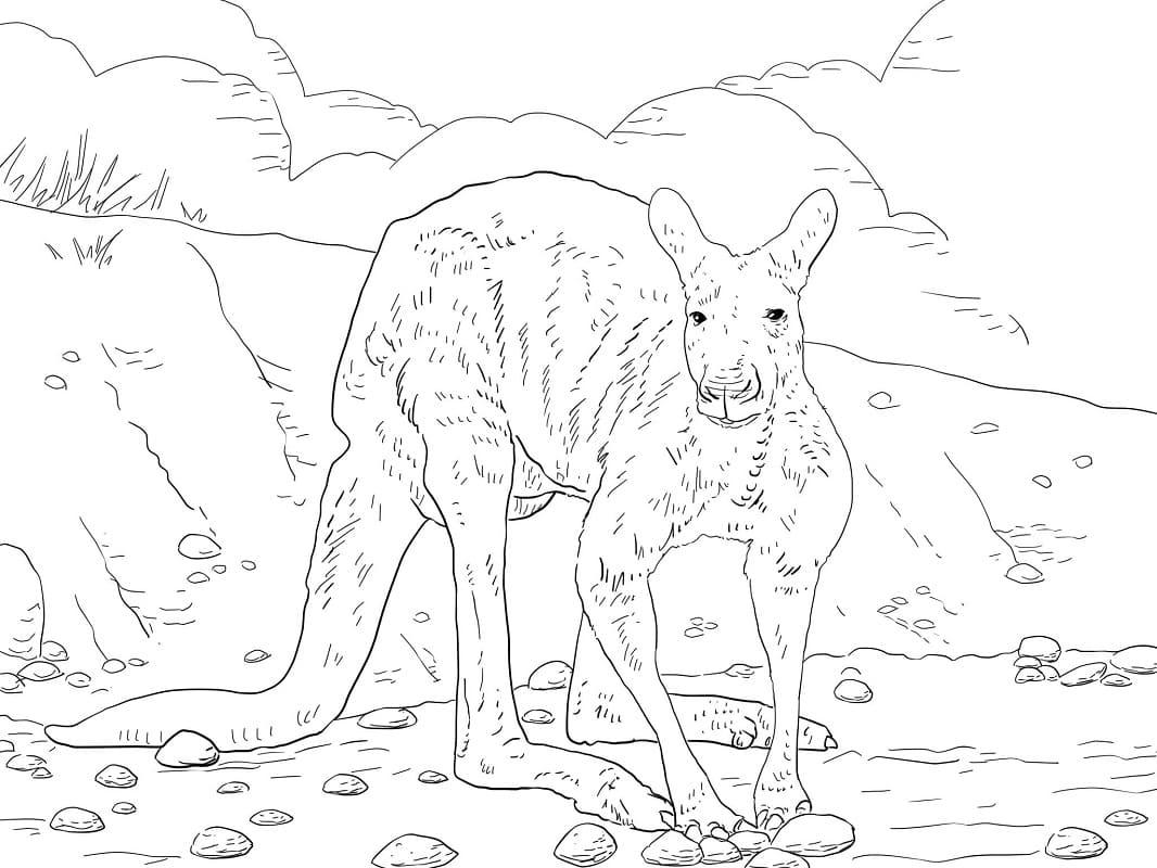 Раскраска дикий кенгуру 2