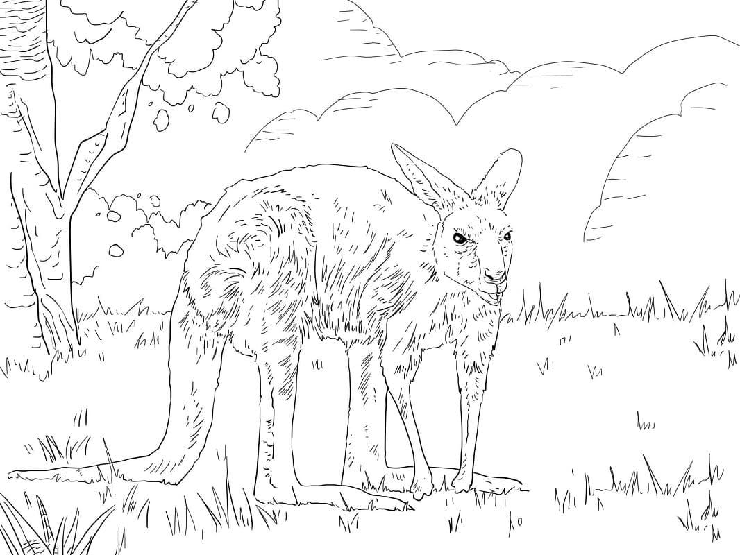 Раскраска дикий кенгуру 3
