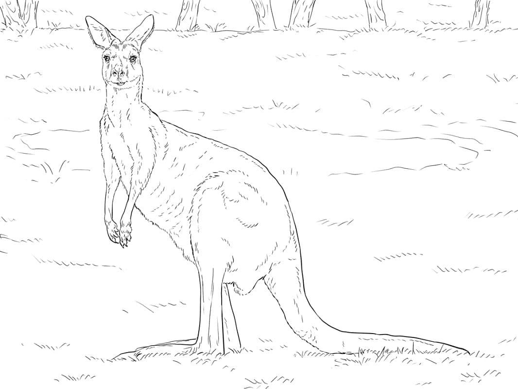 Раскраска дикий кенгуру 5