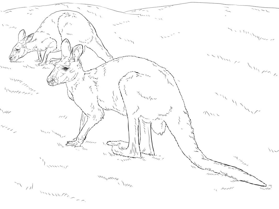 Раскраска дикий кенгуру