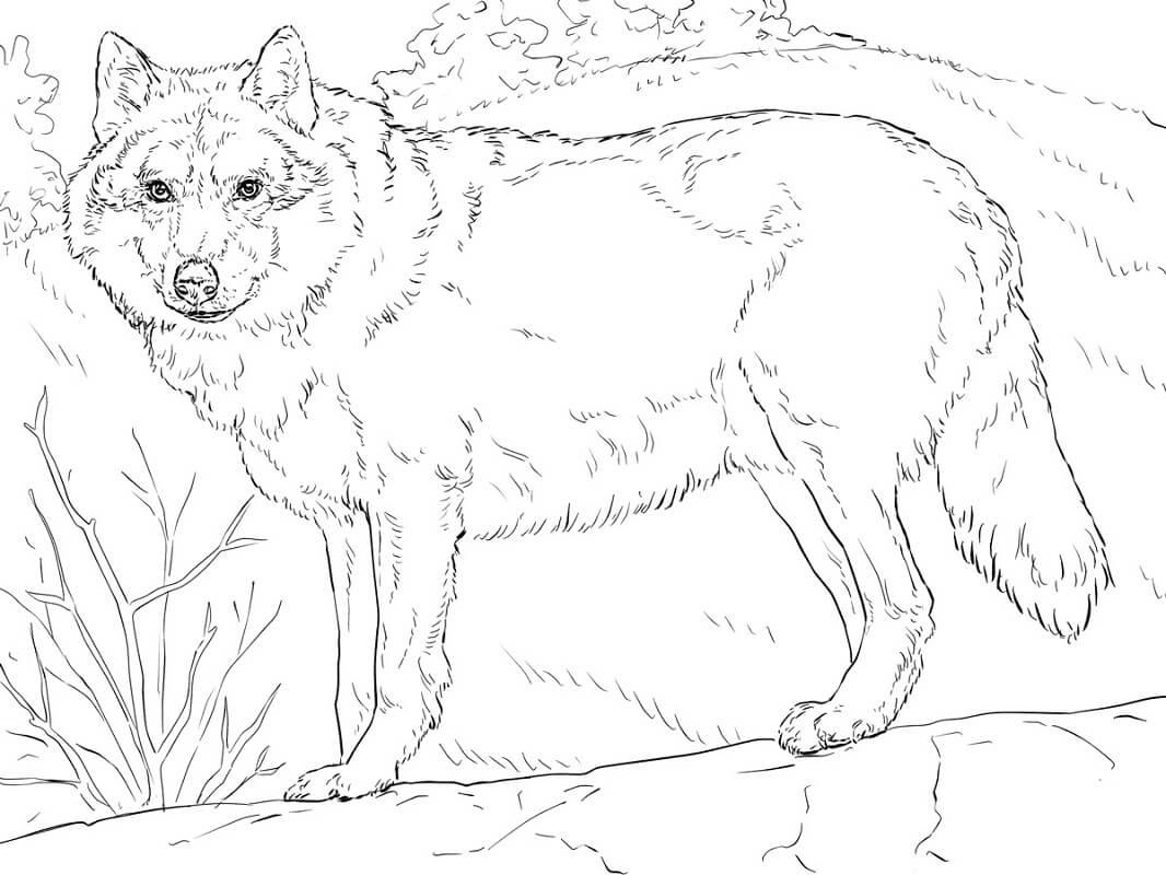 Раскраска дикий волк 10