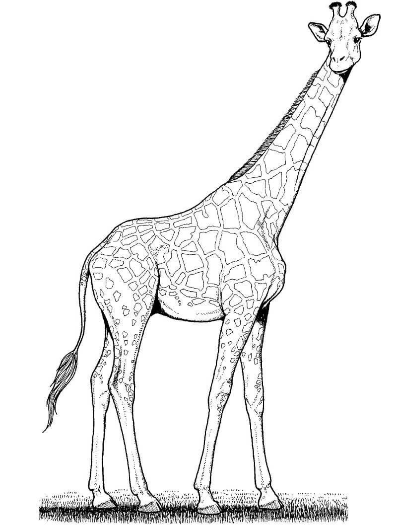 Раскраска дикий жираф 5