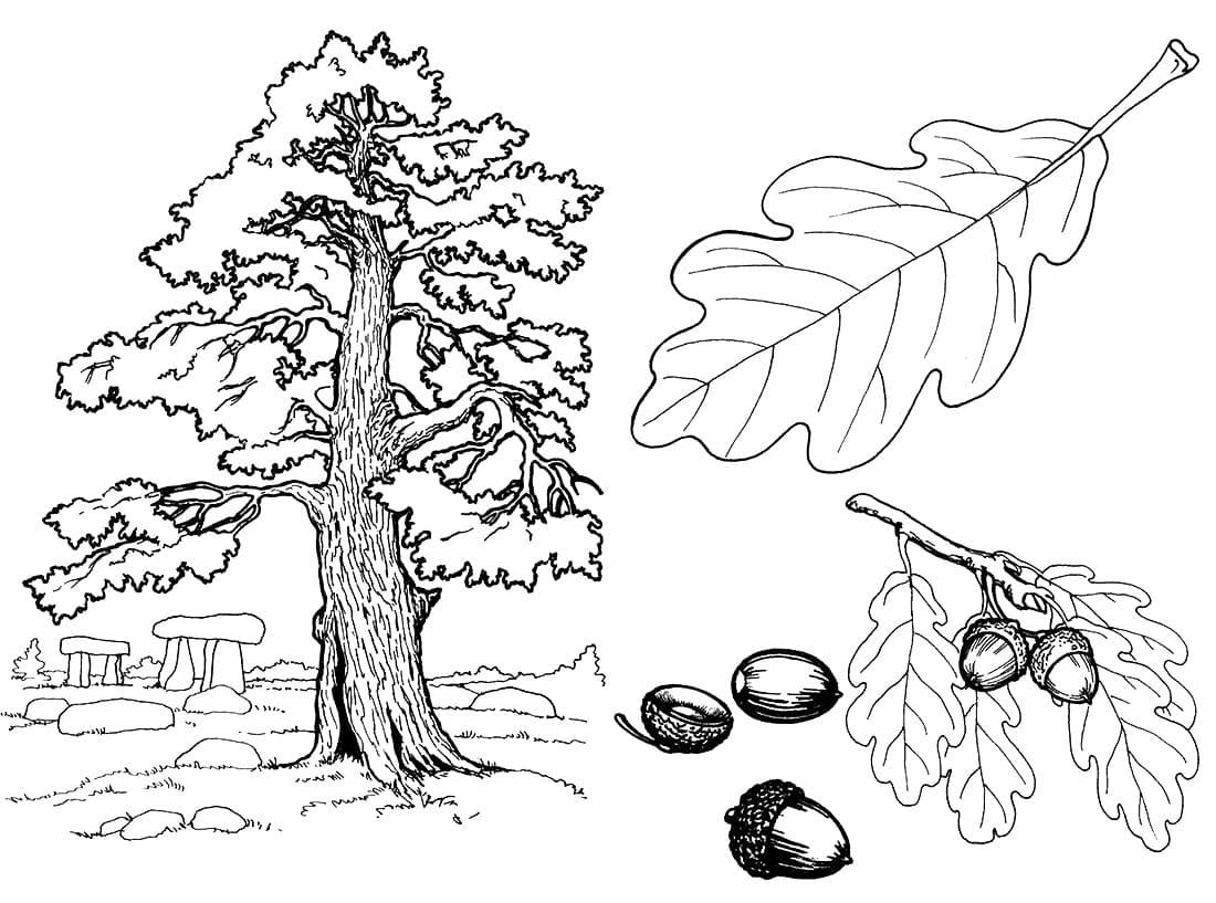 Раскраска Дубовое дерево 3