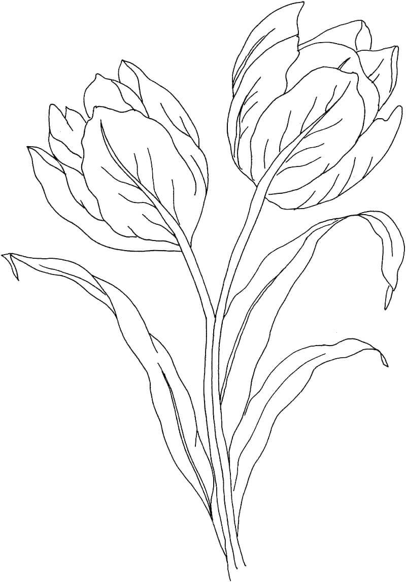 Раскраска два тюльпана цветок