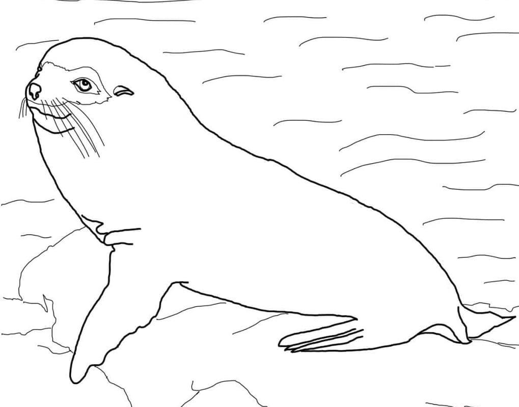 Раскраска Галапагосский морской котик