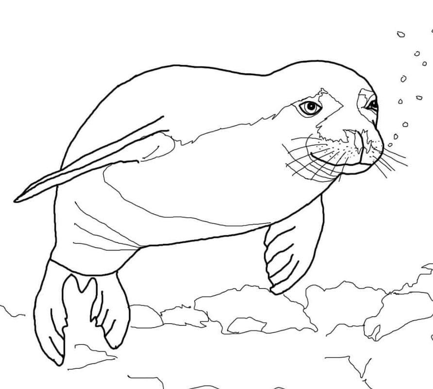 Раскраска Гавайский тюлень-монах
