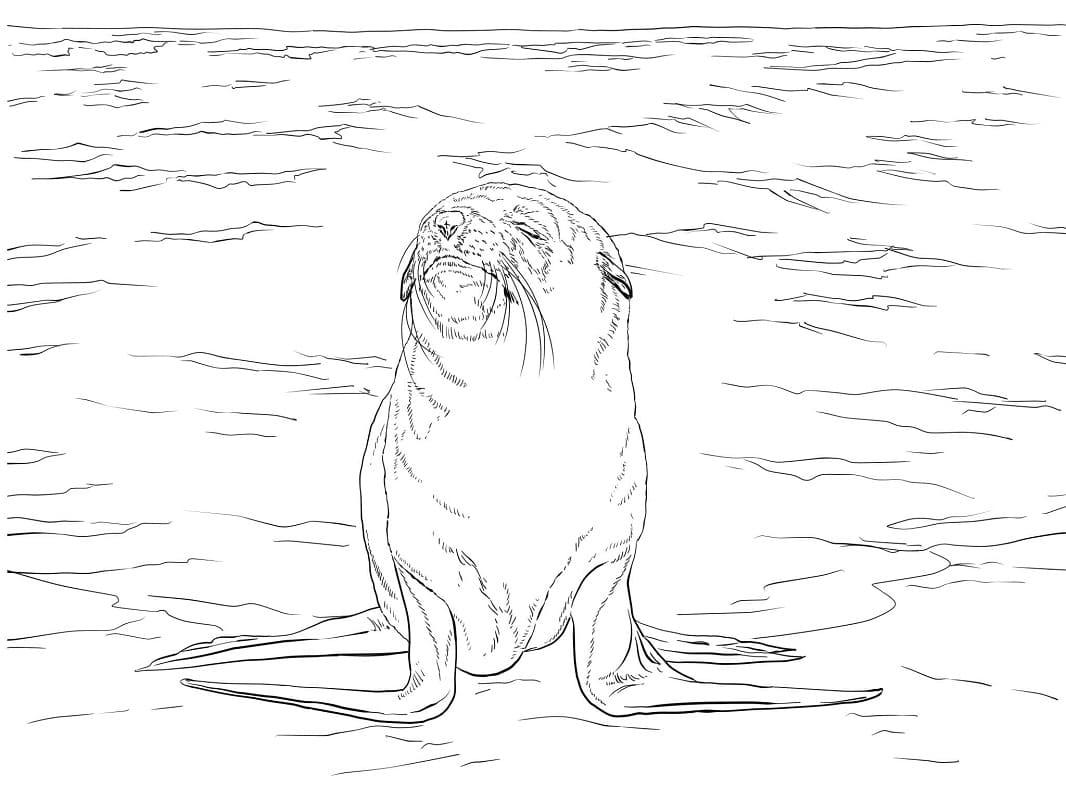 Раскраска Капский морской котик