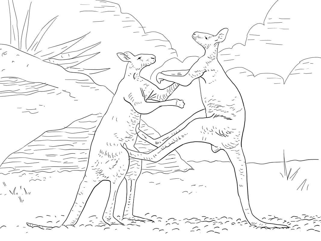 Раскраска кенгуру борьба