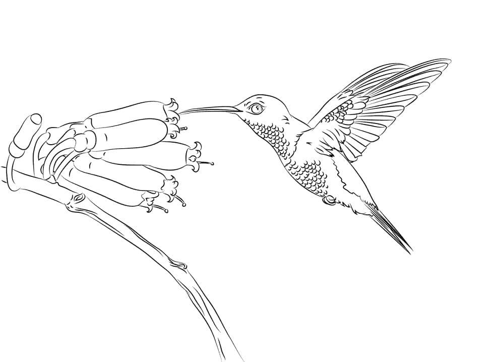 Раскраска колибри летит 2
