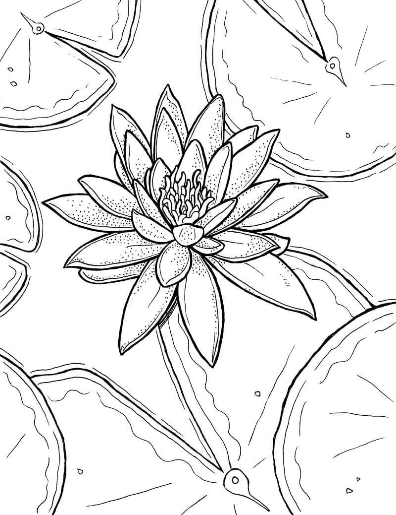 Раскраска красивая водяная лилия 2
