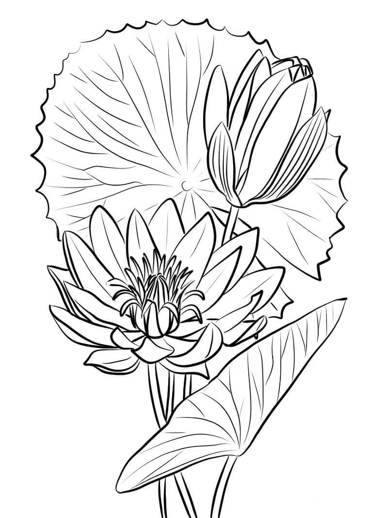 Раскраска красивая водяная лилия 5