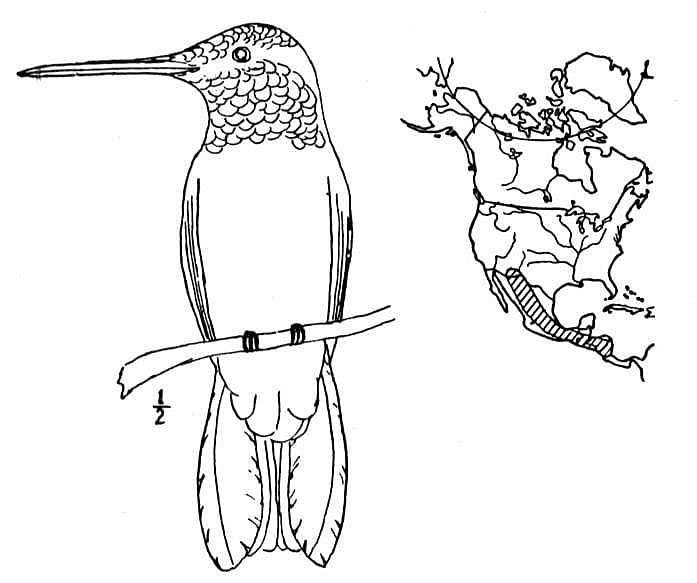 Раскраска милый колибри 2