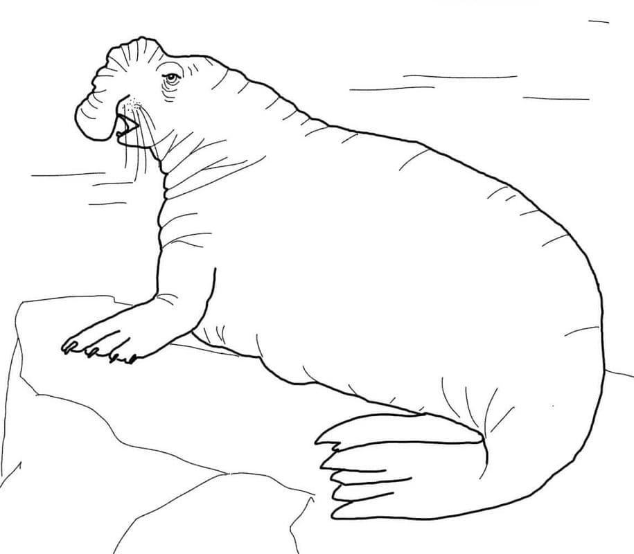 Раскраска Морской слон 1