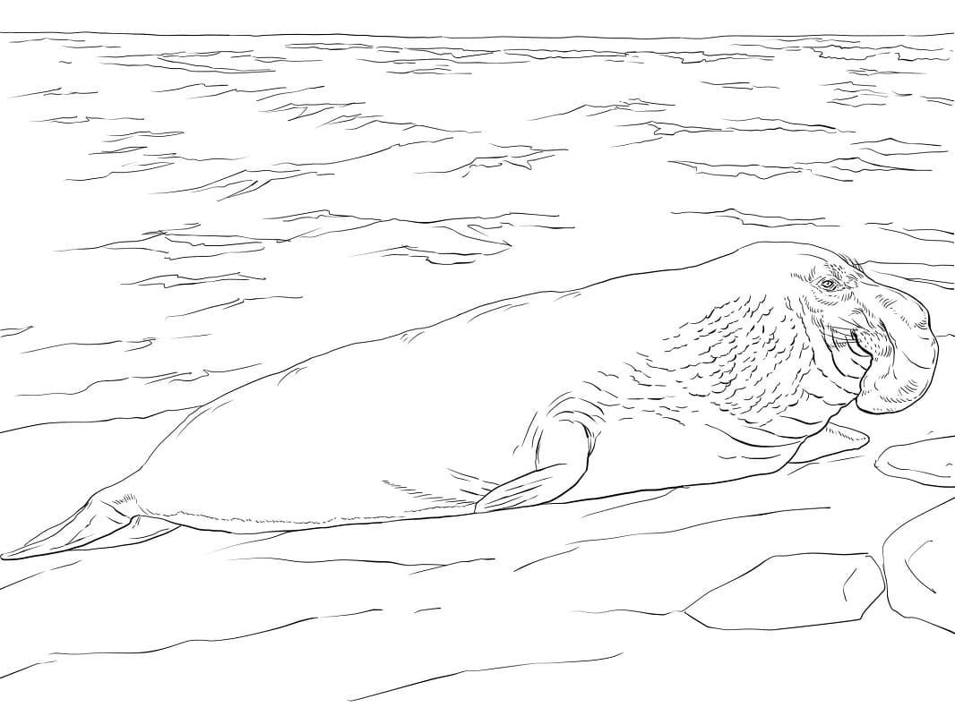 Раскраска Морской слон 2