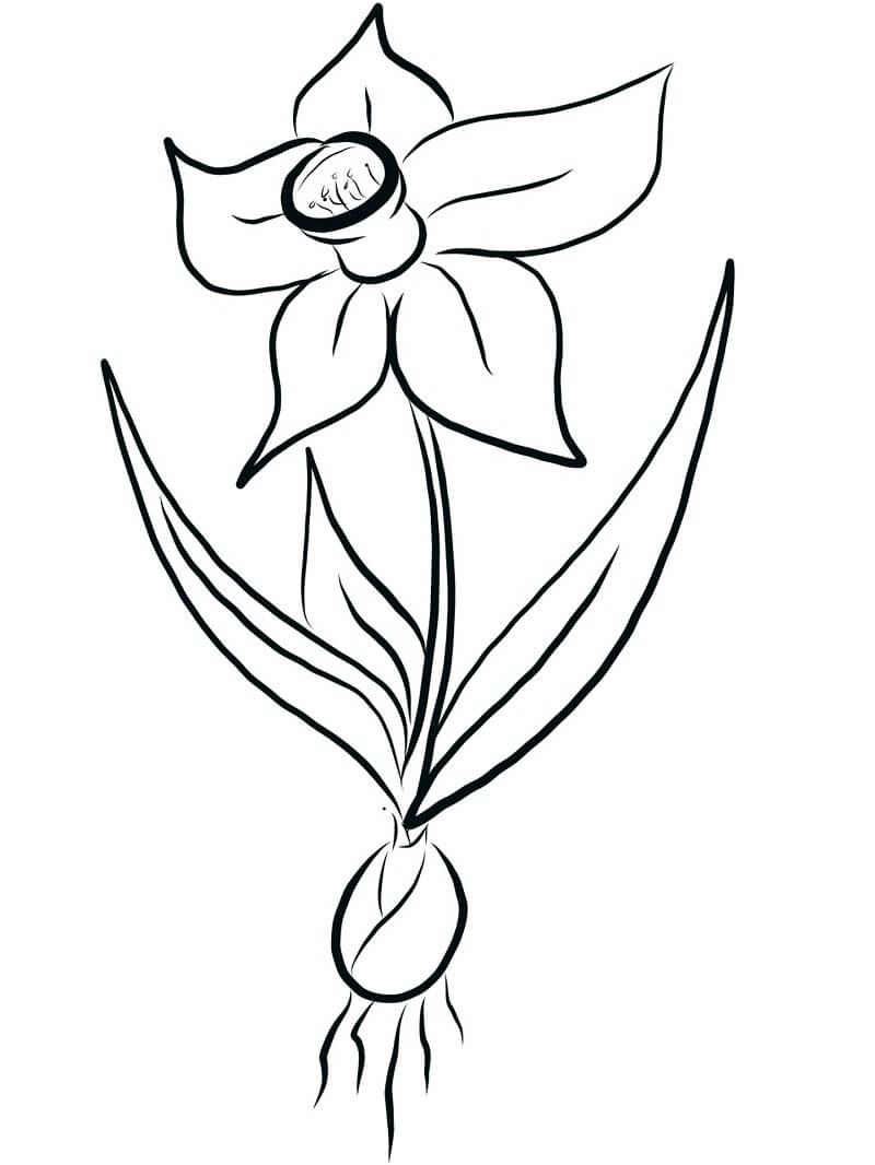 Раскраска нарцисс цветок 1