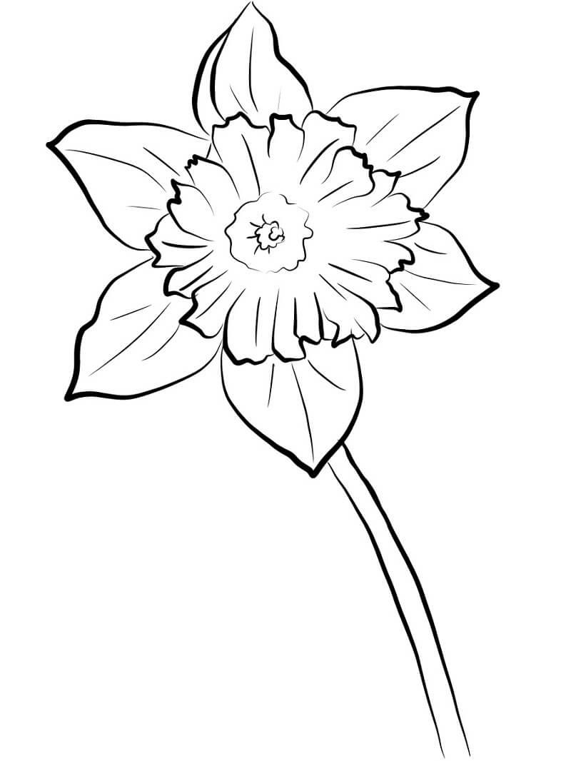 Раскраска нарцисс цветок 2