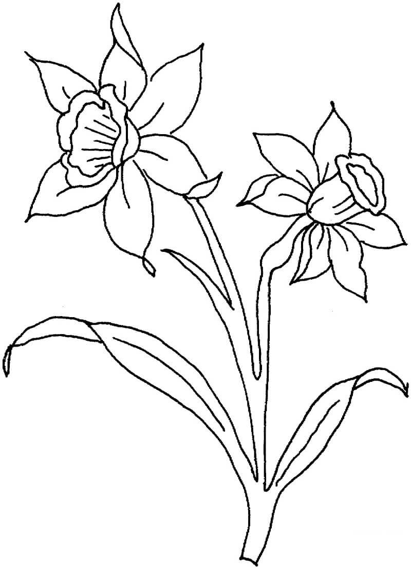 Раскраска нарцисс цветок 3
