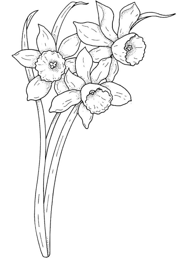 Раскраска нарцисс цветок 4